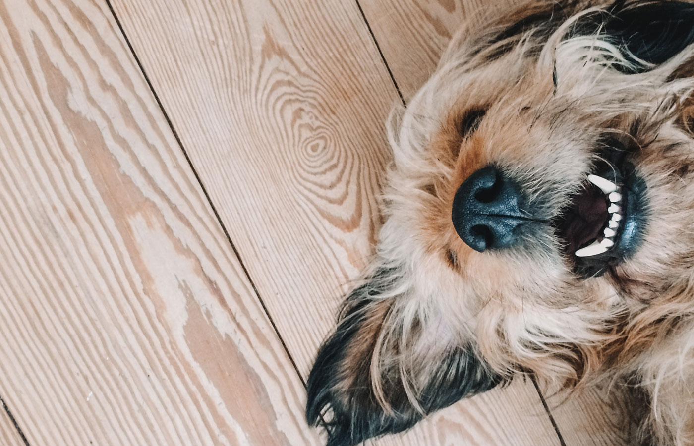 Cute dog smiling while lying on a wooden floor with its nose up showing white teeth