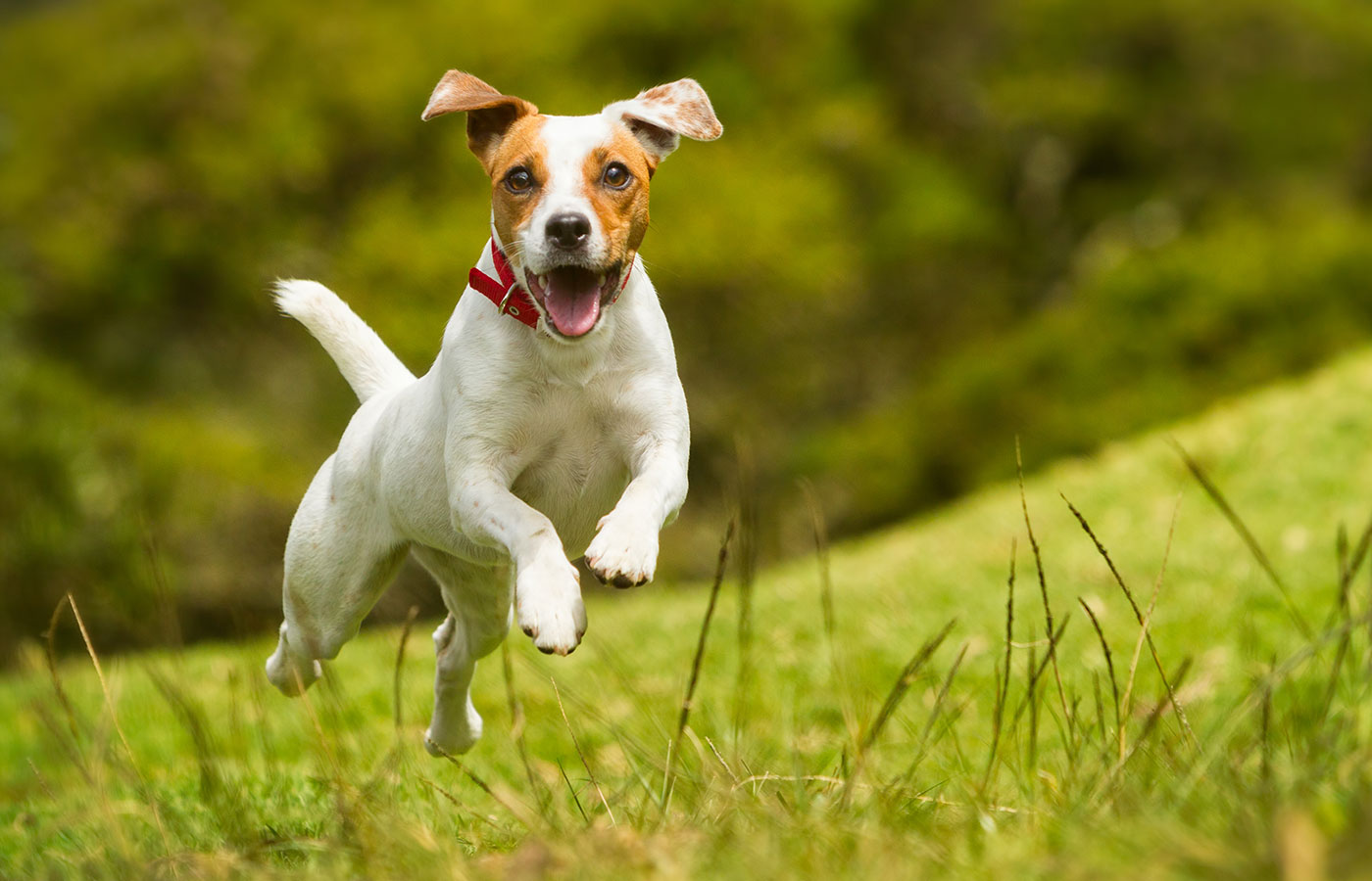 Jack Russel Parson Dog Run Toward The Camera Low Angle High Speed Shot - Image